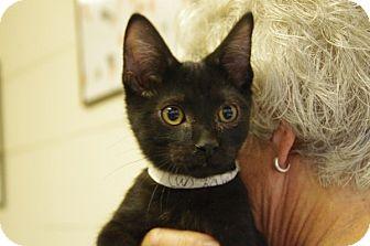 Domestic Shorthair Kitten for adoption in Elyria, Ohio - Kirby