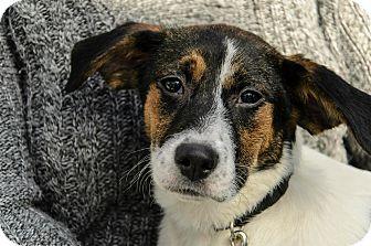 Labrador Retriever/Fox Terrier (Smooth) Mix Puppy for adoption in Lancaster, Pennsylvania - Princess Martin