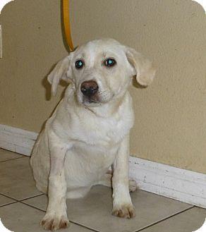 Golden Retriever/Labrador Retriever Mix Puppy for adoption in Oviedo, Florida - Lexi