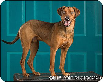 Hound (Unknown Type)/Shepherd (Unknown Type) Mix Dog for adoption in Owensboro, Kentucky - Bahb