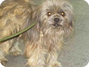 Shih Tzu/Terrier (Unknown Type, Small) Mix Dog for adoption in Encino, California - Nicky