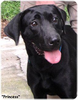 Labrador Retriever Dog for adoption in Key Largo, Florida - Princess