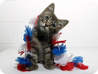Domestic Shorthair Kitten for adoption in Lufkin, Texas - Stiggy