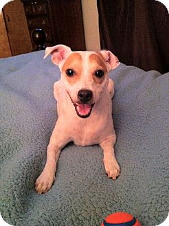 Jack Russell Terrier/Rat Terrier Mix Dog for adoption in Austin, Texas - Brooks in Houston