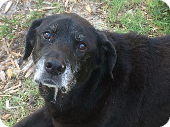 Labrador Retriever/Basset Hound Mix Dog for adoption in Riverview, Florida - Molly