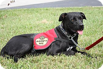 Labrador Retriever/American Pit Bull Terrier Mix Dog for adoption in LaGrange, Kentucky - DAPHNE
