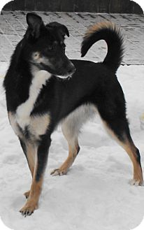 Husky/Shepherd (Unknown Type) Mix Dog for adoption in Rigaud, Quebec - Nova