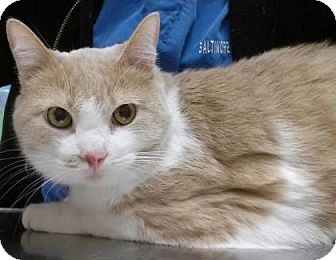 Domestic Shorthair Cat for adoption in Reisterstown, Maryland - Henri