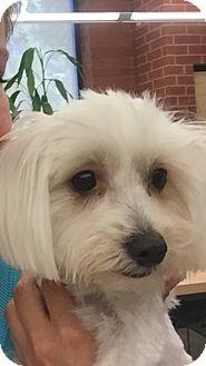 Maltese Mix Dog for adoption in Las Vegas, Nevada - Riley