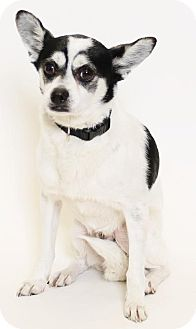 Rat Terrier/Chihuahua Mix Dog for adoption in Truckee, California - Spot