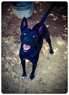 Bulldog/German Shepherd Dog Mix Dog for adoption in Fort Valley, Georgia - Duke