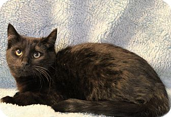 Domestic Shorthair Kitten for adoption in Greensboro, North Carolina - Louie