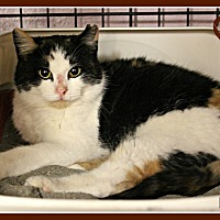 Calico Cat for adoption in New Richmond,, Wisconsin - Izra