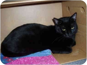 Domestic Shorthair Cat for adoption in Hamburg, New York - Blackie