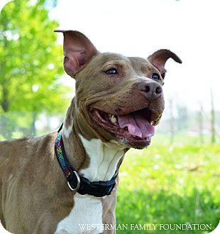 Pit Bull Terrier Mix Dog for adoption in Delaware, Ohio - Gertie