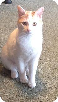 Domestic Shorthair Cat for adoption in Eureka, California - Elsie
