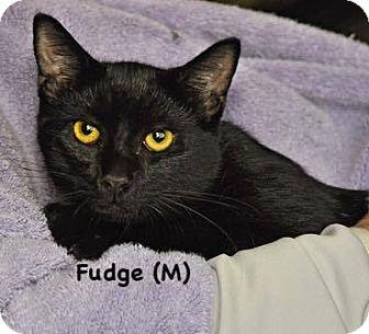 Domestic Shorthair Kitten for adoption in West Orange, New Jersey - Fudge