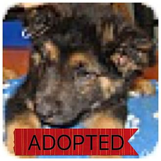 Shepherd (Unknown Type) Mix Puppy for adoption in Regina, Saskatchewan - Armani