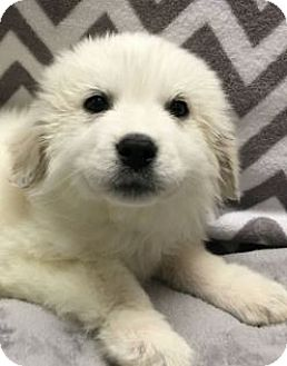Great Pyrenees Mix Puppy for adoption in Gahanna, Ohio - ADOPTED!!!   Ford