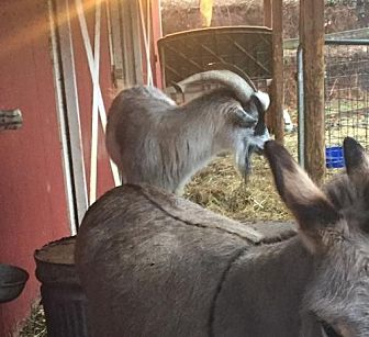 Goat for adoption in Landenberg, Pennsylvania - Getty