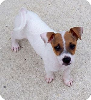 Chihuahua/Terrier (Unknown Type, Medium) Mix Puppy for adoption in Pipe Creed, Texas - Jimmy