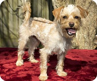 Brussels Griffon/Norfolk Terrier Mix Dog for adoption in Santa Fe, Texas - Penelope--S-VIDEO