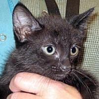 Domestic Shorthair Kitten for adoption in Wildomar, California - 359429