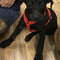 Adopt A Pet :: Chase - Gainesville, GA