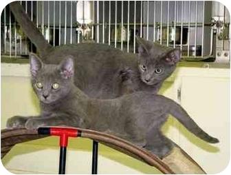 Domestic Shorthair Kitten for adoption in Albany, Georgia - Jet