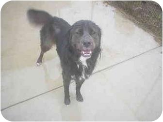 Golden Retriever/Newfoundland Mix Dog for adoption in Eaton, Indiana - Princess