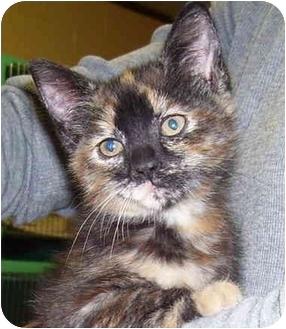 Domestic Shorthair Kitten for adoption in Somerset, Pennsylvania - Ronna