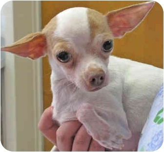 Chihuahua Mix Dog for adoption in Mt. Prospect, Illinois - Soda