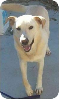 Labrador Retriever Mix Dog for adoption in Spruce Pine, North Carolina - Levi