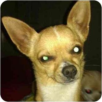 Chihuahua Dog for adoption in Phoenix, Arizona - Spartacus - teeny tiny!