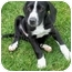 Photo 3 - Hound (Unknown Type)/Labrador Retriever Mix Puppy for adoption in Plainfield, Illinois - Gibson