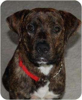Labrador Retriever Mix Dog for adoption in Wakefield, Rhode Island - SUNDAY
