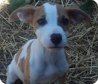 Pit Bull Terrier Mix Puppy for adoption in Kalamazoo, Michigan - Skyler