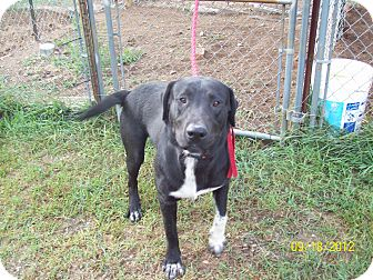 Labrador Retriever/Pit Bull Terrier Mix Dog for adoption in White Cloud, Michigan - Dillinger