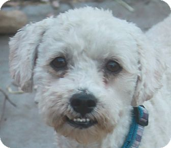 Poodle (Miniature) Mix Dog for adoption in Norwalk, Connecticut - Dwight