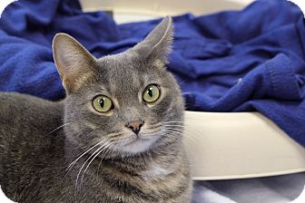 Domestic Shorthair Cat for adoption in Chicago, Illinois - Cadence