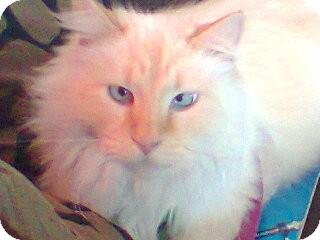 Siamese Cat for adoption in Ogden, Utah - Sully