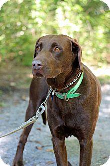 Labrador Retriever Dog for adoption in Tinton Falls, New Jersey - Reno