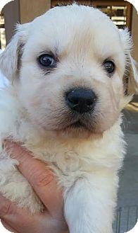Labrador Retriever Mix Puppy for adoption in Apple valley, California - Puffy