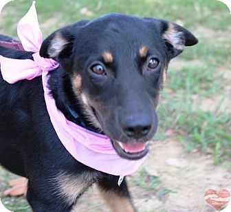 Shepherd (Unknown Type) Mix Puppy for adoption in Hatifeld, Pennsylvania - Marissa