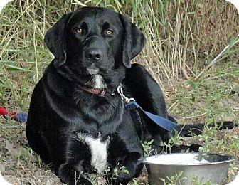 Labrador Retriever Mix Dog for adoption in Marseilles, Illinois - Opie