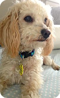 Poodle (Miniature)/Yorkie, Yorkshire Terrier Mix Dog for adoption in Boulder, Colorado - Ellie-PENDING!