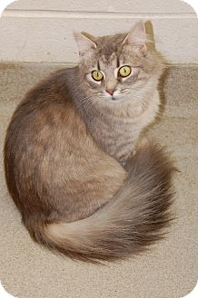 Maine Coon Cat for adoption in Bucyrus, Ohio - Lovely Medley