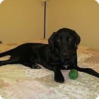 Adopt A Pet :: Crash - Lewisville, IN