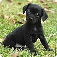 Adopt A Pet :: Raj - La Habra Heights, CA