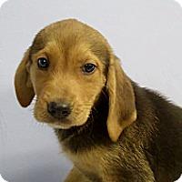 Adopt A Pet :: Marshall - Philadelphia, PA